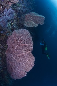 A photo of me at 32 metres depth examining a wall with a beautiful sea fan in the foreground.