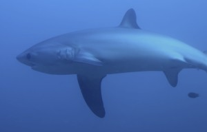 The elegant tail of a thresher shark